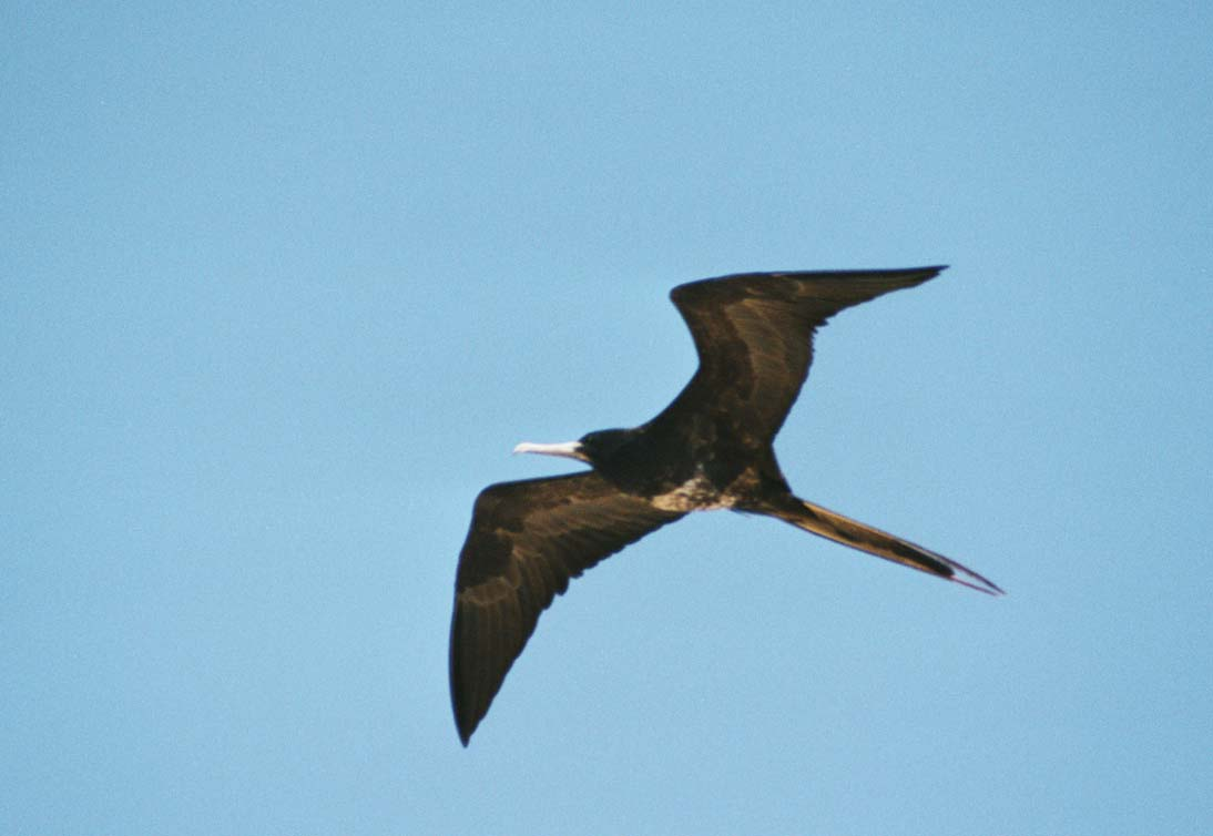 great frigatebird They nest on ocean islands or on coastal areas frigatebirds are 25 to 35 feet in length and have a wingspan of the great frigatebird breeds on isolated islands in the tropical and sub-tropical waters of the the magnificent frigate bird breeds on islands throughout the.